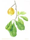 Atractocarpus fitzalanii , yellow mangosteen, a contemporary watercolor painting