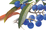Blue Quandong botanical painting by botanical artist Margaret Saul